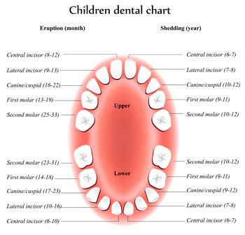 Pediatric Dentist in St. Louis, MO - Tooth Eruption Chart